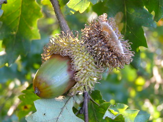Acorn of bur oak (Quercus macrocarpa)