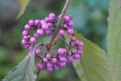 Autum berries of the Beautyberry. (Bienenwabe) Tags: berries autumn beautyberry schönfrucht chinesischeschönfrucht callicarpa callicarpagiraldii lamiaceae macro plant shrub