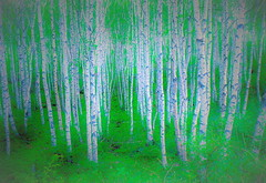 Birch Forest of early summer (chikaraamano) Tags: birchforest morning spacious cool refreshing woods natural light trees leaves whitegreen earlysummer precious nature beautiful taste heart moment highland feeling sharing outdoor