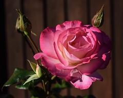 Rose #3 (MJ Harbey) Tags: flower rose rosa petals leaves buds rosebuds nikon d3300 nikond3300 pinkrose sunlight