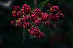 Petras garden (anderswetterstam) Tags: berries nature plants green dark