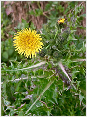 Prickly Sowthistle (Explored) (JulieK (thanks for 8 million views)) Tags: sonchusasper pricklysowthistle flower 100flowers2018 flora ireland irish wexford iphonese green yellow hggt
