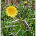 Prickly Sowthistle (Explored)