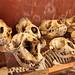 Crâne de phoque à crête
