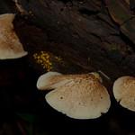 Crepidotus mollis thumbnail
