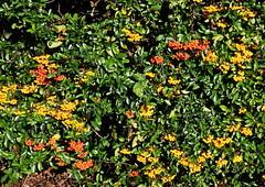 DSC_2024 (PeaTJay) Tags: nikond750 reading lowerearley berkshire macro micro closeups gardens outdoors nature flora fauna plants flowers bushes shrubs