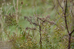 _DSC3702.jpg (dmacgee) Tags: birds wild westminsterpondsesa goldencrownedkinglet fb animals