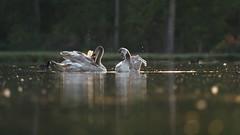Even wassen voor het slapen gaan (nikjanssen) Tags: zwanen zonsondergang sunset bokeh avondtoilet nature swans evening avond