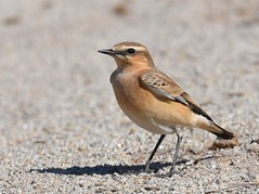 Chasco-cinzento / Northern Wheatear (anacm.silva) Tags: chascocinzento northernwheatear chasco ave bird wild wildlife nature natureza naturaleza birds aves murtosa portugal oenantheoenanthe coth5