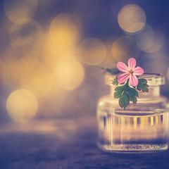 Little pink (Ro Cafe) Tags: lensbabyedge80 selectivefocus sonya7iii blur bokeh manuallens pink flower geranium littlebottle extension tubes macro converters setup closeup stilllife golden light