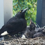 Charlotte Currawong and chicks looking for Crows thumbnail