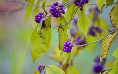 _DSC6475  Lovely purple berries (christinachui79) Tags: landscapephotography autumntheme autumnseason autumncolour falltheme fallseason fallcolour colourful purplecolour naturephotography landscape nature flickrnature nikond750 macrophotography closeup berries macro leaves foliages nikon d750 bokeh autumn fall dof purple