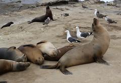 Leoni Marini (raffaele pagani) Tags: lajolla lajollacove sandiego california spiaggia beach leonimarini sealions foche seals pelecanusoccidentalis pellicanobrunodellacalifornia uccellodimare californiabrownpelican seabird canon