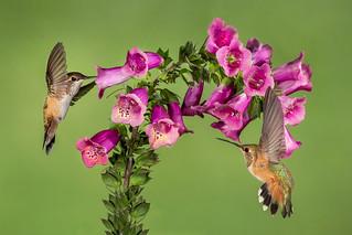 Rufous Hummingbirds and Purple Foxglove