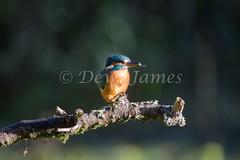 20180924 Forest Farm - 10 (Dewi James) Tags: forestfarm wales birds bird kingfisher cardiff