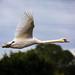 Swan over Wade lake