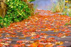 DSCF1645.jpg (RHMImages) Tags: trees fallcolors landscape macro fuji nevadacounty nevadacity xt3 fall fujifilm leaves