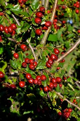 Hawthorn Berries (Martin Pettitt) Tags: 2018 burystedmunds digitalcamera dslr hardwickheath hawthornberries heath nikond90 outdoor park suffolk trees uk