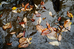 Fallen Leaves (fotofish64) Tags: leaf leaves fallenleaves fall autumn autumncolors water texture nature earthy outdoor pentax pentaxart ks2 kmount manualfocuslens vintagelens pentaxsupertakumar55mmf2lens random