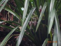 DSC01644鳳蘭
