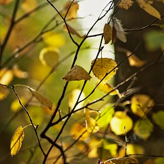 Leaves (Stefano Rugolo) Tags: stefanorugolo pentax k5 pentaxk5 smcpentaxm100mmf28 ricohimaging foliage leaves autumn branches trees sweden abstract hälsingland light