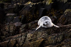 Ghost (Phil-Gregory) Tags: seal silky rock lochcarron scotland highlands plockton water zoom sigma18250macro sigma nikon d7200 superzoom animal mammal white black ngc