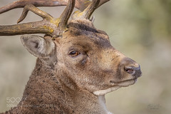 Tired... (KevinBJensen) Tags: herbivore grassland herbivorous deer animal wildlife mammal wild wilderness natural fallow beautiful forest beauty rut antlers autumn pics photograph photography photographer free wbpa tired mating fighting