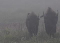 2018 - Vacation - Wichita Mountains Wildlife Refuge 2 (zendt66) Tags: zendt66 zendt nikon d7200 wichita mountains wildlife refuge lawton oklahoma bison nikkor 200500mm fog