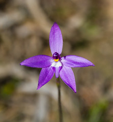 Wax Lip Orchid, Kaiserstuhl Conservation Park - South Australia (Trace Connolly Photography) Tags: orchids native nativeflowers plant flower australia natur natura natural nature naturaleza naturephotography colour color colourful outdoor outdoors outside eos canon sunlight exposure flickr environment environmental environmentalphotography flora contrast purple plants hiking barossa barossavalley kaiserstuhl woods walk foliage trail sigma