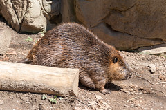 180323 National Zoological Park-12.jpg (Bruce Batten) Tags: animals businessresearchtrips locations mammals nationalzoologicalpark occasions plants reflections rocksgeologicalformations shadows subjects terrestrial trips usa vertebrates washingtondc zoos