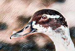 (merseymouse) Tags: ducks waterfowl nature wildlife