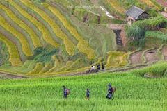 _J5K2228.0918.La Pán Tẩn.Mù Cang Chải.Yên Bái. (hoanglongphoto) Tags: asia asian vietnam northvietnam northwestvietnam landscape scenery vietnamlandscape vietnamscenery vietnamscene terraces terracedfields people hillside peopleinlandscape mucangchailandscape curves abstract canon canoneos1dsmarkiii tâybắc yênbái mùcangchải lapántẩn phongcảnh ruộngbậcthang ruộngbậcthangmùcangchải ruộngbậcthanglapántẩn đườngcong trừutượng sườnđồi người phongcảnhcóngười mùcangchảimùalúachín mùcangchảimùagặt canonef200mmf28liiusm home house ngôinhà harvest seasonharvest