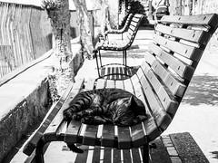 Capri cat. (Avian Sky) Tags: cat capri bench sleep sleeping tabby monochrome