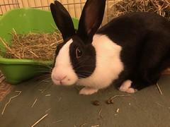 Hello, Daddy! (MrBigglesworth) Tags: rabbit bunny dutchrabbit