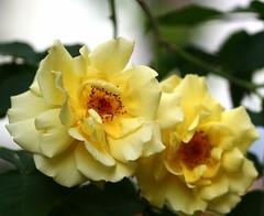 A yellow rose for Oklahoma (leograttoni) Tags: naturaleza nature flor flower rosa rose poema poem amarillo yellow laplata buenosaires
