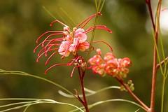 Grevillea flower (adamsgc1) Tags: grevillea spiderflower red nature oxley flower queensland australia australiannative