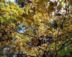 Leaves_119986 (gpferd) Tags: plant tree burney california unitedstates us