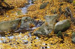 A yellow stream (Baubec Izzet) Tags: baubecizzet pentax nature autumn yellow leaves stream water flickrunitedaward