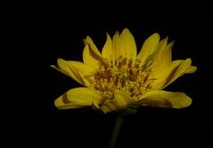 Niger Flower..x (Lisa@Lethen) Tags: guizotia abyssinica niger flower bird food seed petal stamen greenfly macro black background