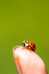 Cleaning time (Carandoom) Tags: 2018 macro close up 90mm sony alpha7 a7 ladybug finger tip cleaning time