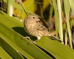 2018-09-28 Green Valley, AZ 5 (JanetandPhil) Tags: 20180910artxaznmvacation birds nikon nikkor d800 800mmf56 greenvalleyaz housefinch haemorhousmexicanus female