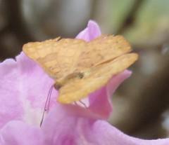 Emesis (Birdernaturalist) Tags: bolivia butterfly helicopini lepidoptera plant richhoyer riodinidae riodininae