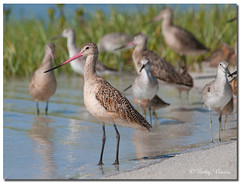 Marbled Godwit & Willet (Betty Vlasiu) Tags: marbled godwit limosa fedoa bird nature wildlife willet tringa semipalmata florida stpetersburg island