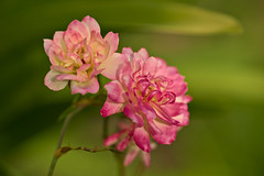 Roses (pstenzel71) Tags: blumen natur pflanzen samyang135mm20 samyang135mm2014tc rose rosa darktable flower bokeh