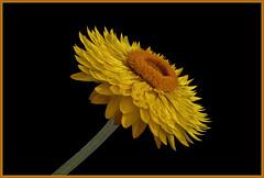 Garten-Strohblume (Julius310) Tags: gelb nahaufnahme gartenstrohblume flower strohblume blüte nature macro makro makrofotografie blossom xerochrysum bracteatum flowers blume
