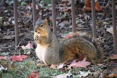 Squirrels in Ann Arbor at the University of Michigan - October 16th, 2018 (cseeman) Tags: gobluesquirrels squirrels annarbor michigan animal campus universityofmichigan umsquirrels10162018 fall autumn eating peanut acorns octoberumsquirrel mugs