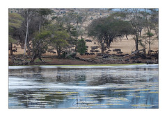 Buffles - Tsavo ouest (Claire PARMEGGIANI Photos) Tags: africa africangallery africanlife africanwildlife eastafrica gamedrive kenya safari tsavo wildlife wildafrica buffalo