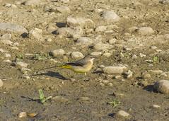 Bergeronnette des ruisseaux (JFB31) Tags: bergeronnettedesruisseaux motacillacinerea greywagtail passériformes motacillidés
