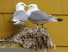 This is Love (abrideu) Tags: abrideu panasonicdmctz20 blacckleggedkittiwake lofoten leknes nusfjord norway seagulls birds nest ngc npc