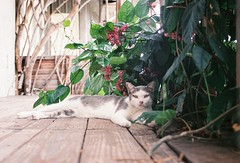 (YL.H) Tags: canon 500n hillvale sunny16 cat 貓 底片 analog film 水湳洞 瑞芳
